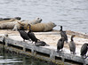 Phalacrocorax auritus, Double-crested Cormorant  and Phoca vitulina, Harbor Seal, Crescent City Harbour