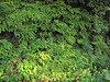 habitat of Adiantum aleuticum (Howland Hill Road, Jedediah Smith SP, California)