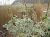 Artemisia spec. (Humboldt Lagoon SP, California)