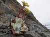 Dudleya farinosa (South of Crescent City, California)