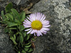 Erigeron glaucus (Crescent City Harbor, California)