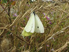 Pieris rapae, cabbage White (Crescent City Harbor, California)(photo Kees Jan)