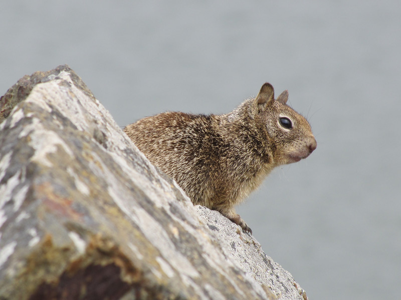 Sciurus griseus, Western Grey Squirrel, Crescent City Harbour