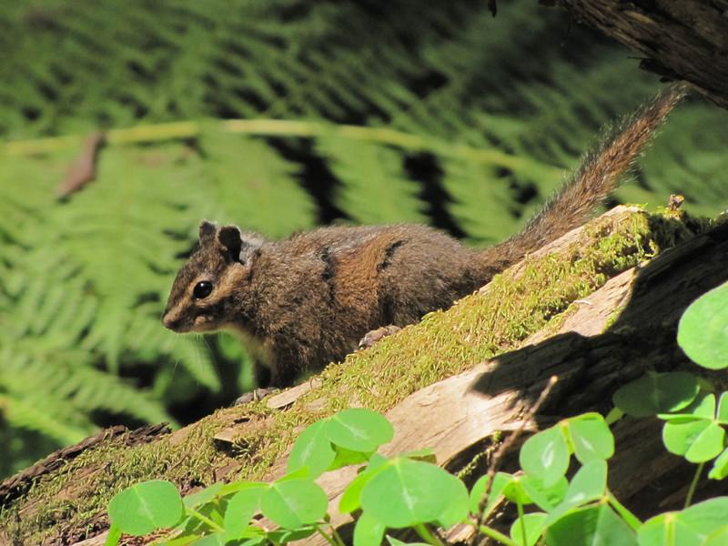 Tamias spec., Chipmunk (Avenue of the Giants, Humboldt Redwoods State Park)