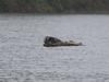 Phoca vitulina ssp. richardii, Harbor Seal (Humboldt Lagoon SP, California)