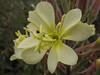 Oenothera hookeri (Humboldt Lagoon SP, California)
