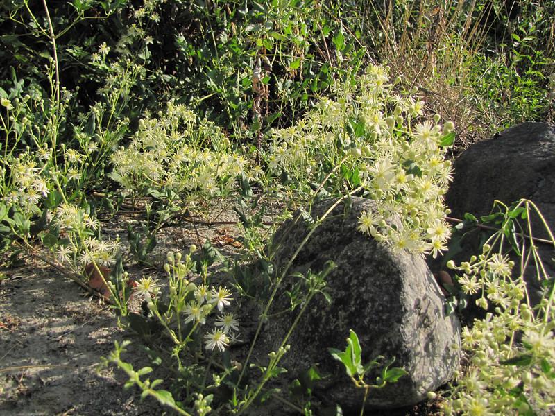 Clematis vitalba? (non-native) (Smith River near Howland Hill Road, Jedediah Smith SP, California)