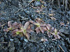 Pinguicula vulgaris (Howland Hill Road, Jedediah Smith SP, California)