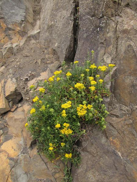 Senecio jacobaea? (South of Crescent City, California)