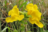 Mimulus guttatus (Near Klamath, north of Orick, California)