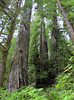 Sequoia sempervirens (Bruce Lyon Memorial Grove, Prairie Creek SP, California)