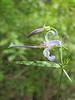 Campanula prenanthoides,  (Smith River near Howland Hill Road, Jedediah Smith SP, California)
