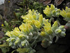 Dudleya farinosa (Crescent City Harbor, California)