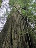 Sequoia sempervirens (Bruce Lyon Memorial Grove, Prairie Creek SP, California)