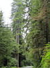Sequoia sempervirens (Prairie Creek SP, southern part, California)