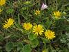 Grindelia spec. (Humboldt Lagoon SP, California)