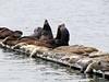 Eumetopia jubatus, Northern Sea Lion and Phoca vitulina, Harbor Seal, Crescent City Harbour