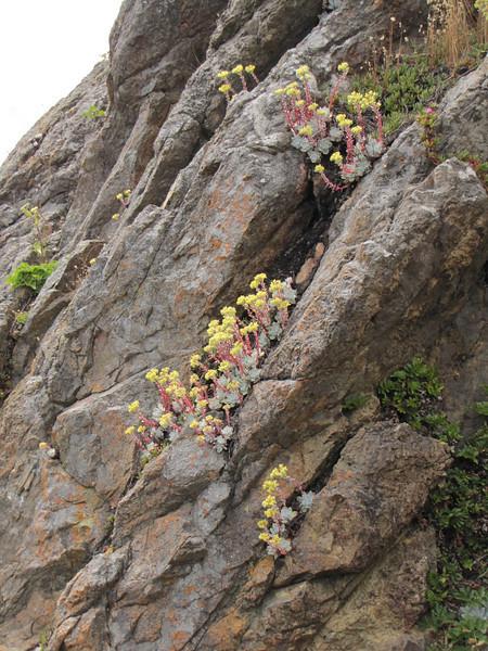 Dudleya farinosa (Crescent City Harbor, California)