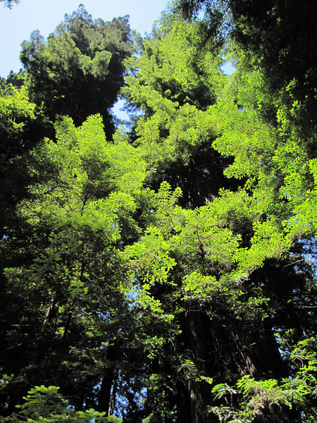 Sequoia sempervirens (Avenue of the Giants, Humboldt Redwoods Statespark)