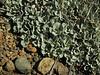leafs of Eriogonum umbellatum var. polyanthum, West of Jedidiah Smith SP, California