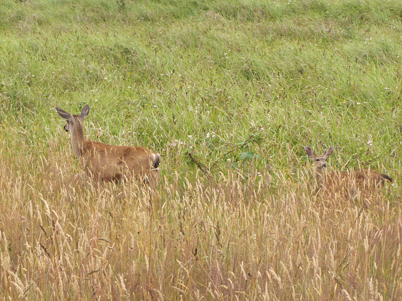 Odocoileus hemionus, Black-tailed Deer (syn. Mule Deer) Near Prairie Creek Campground in Prairie Creek SP