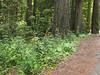 habitat of Lilium columbianum (Del Norte Redwood SP, south of Crescent City, California)