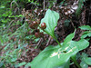Maianthemum dilatatum in fruit (Prairie Creek SP, southern part, California) (photo Kees Jan)