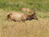 Cervus elaphus ssp. roosevelti, Roosevelt Elk - the largest of the Elk subspecies (Prairie Creek Redwoods State Park, Southern part - California