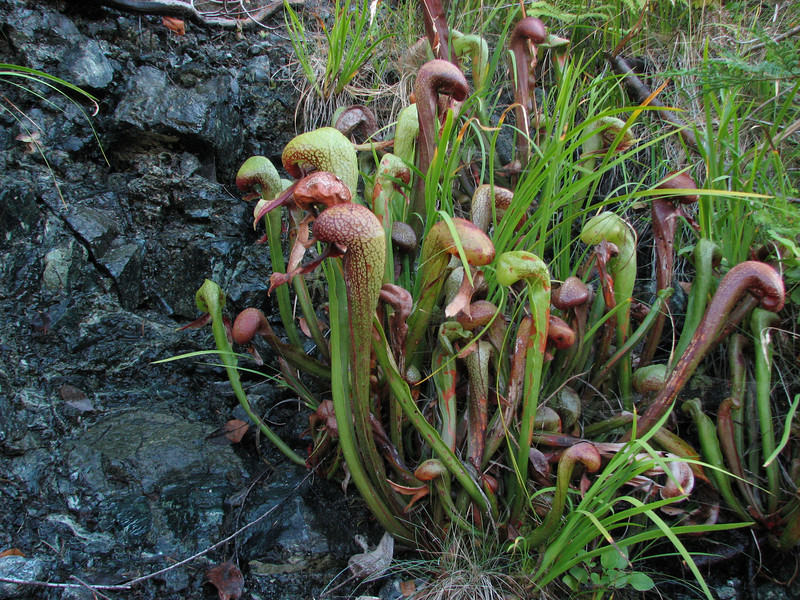 Darlingtonia californica (Howland Hill Road, Jedediah Smith SP, California)