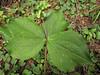 Trillium ovatum (Bruce Lyon Memorial Grove, Prairie Creek SP, California)