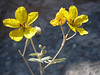 Twinleaf, Cassia bauhinioides (Nevada)