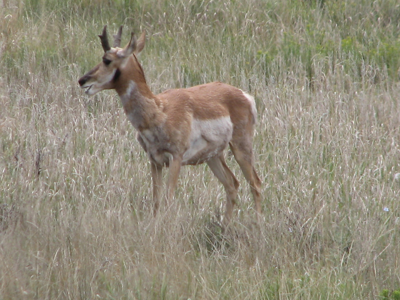 Pronghorn Antilope, Antilocapra americana (Dixie National Forest Utah)