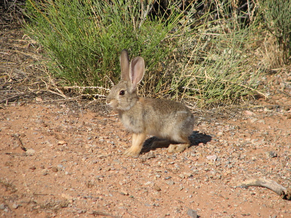 Brush rabbit, Sylvilagus bachmani (Arches N.P. Utah)