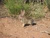 Brush rabbit, Sylvilagus bachmani (Arches N.P. Utah)