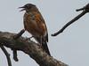 Turdus migratorius, American Robin, (Capital Reef Nat'l Park)