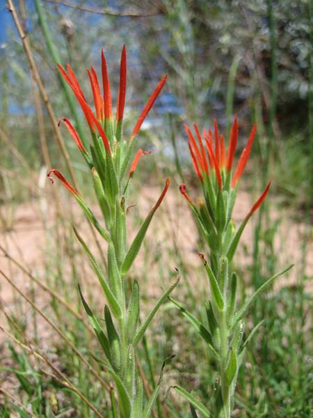 Indian Paintbrush, Ipomopsis aggregata (Utah)