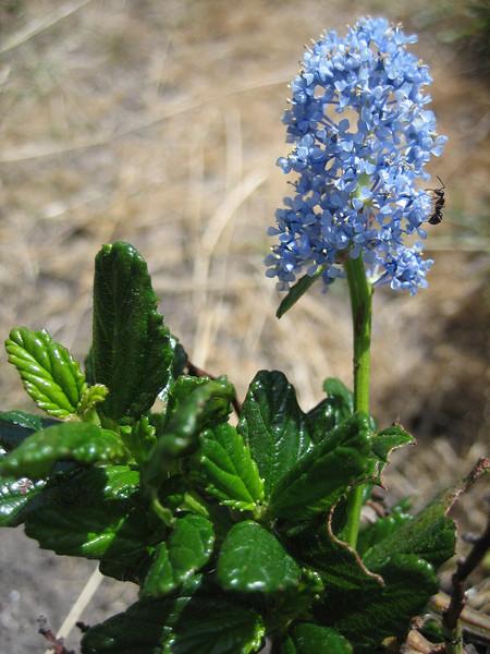 Ceanothus spec. (NL: Amerikaanse sering)(Westcoast Pacific.)