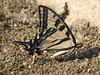 Western Tiger Swalowtail, Papilio rutulus (Siera Nevada California)