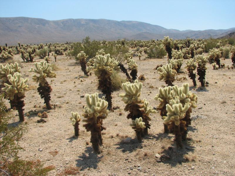 Opuntia bigelovii, Teddy-bear Cholla cactus,(Joshua Tree National Park)