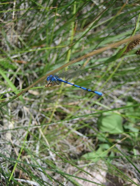 Argia spec. bleu tail