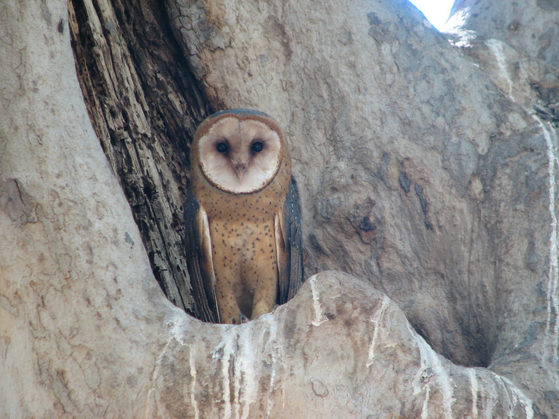 Barn Owl, Tyto alba (Siera Nevada California)
