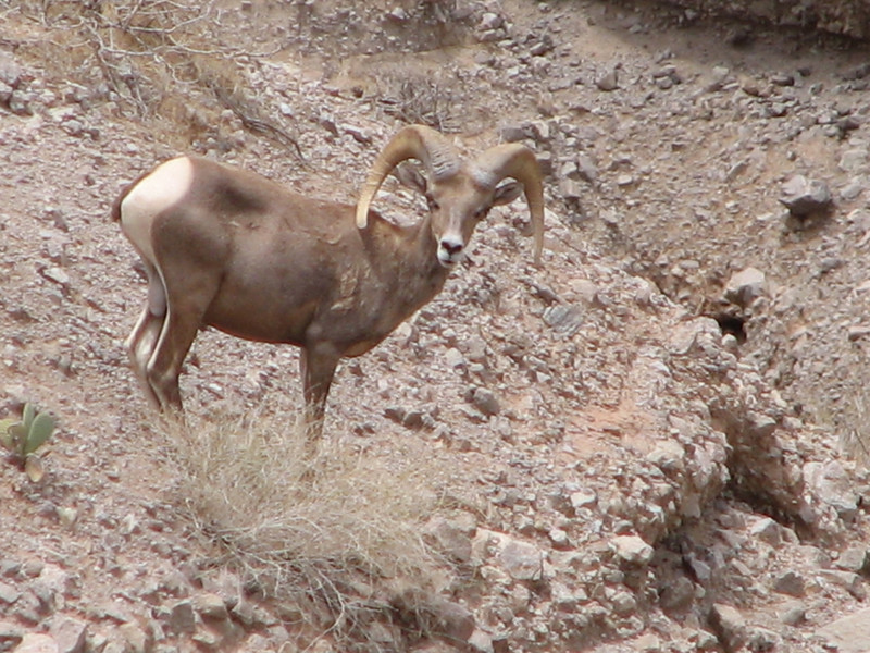 Male Bighorn Sheep, Ovis canadensis (Nevada)