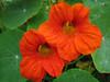 Tropaeolum majus (NL: Oost-Indische kers) Anual plant (San Francisco)