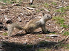 Sciurus griseus, Western Gray Squirrel, (Westcoast Pacific.)