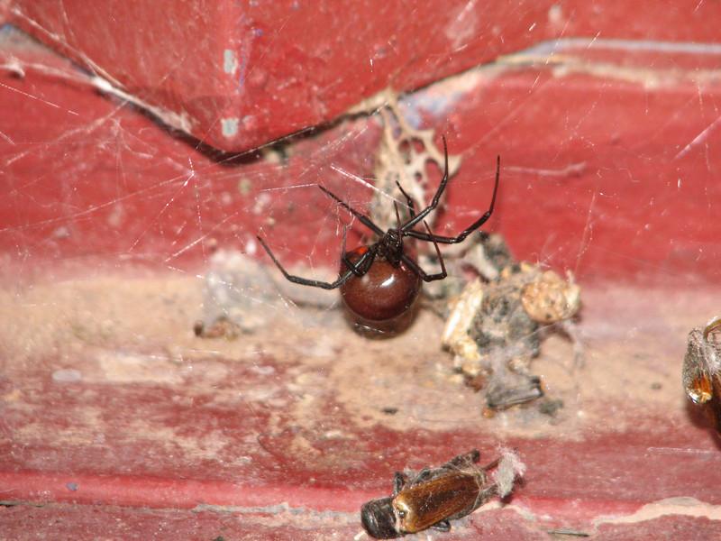 Latrodectus hesperus, Western Black Widow Spider (Nelson Route66 Arizona)