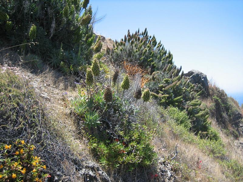 habitat Echium spec. (Westcoast Pacific.)