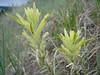 Yellow Indian Paintbrush, Castilleja flava (Utah)