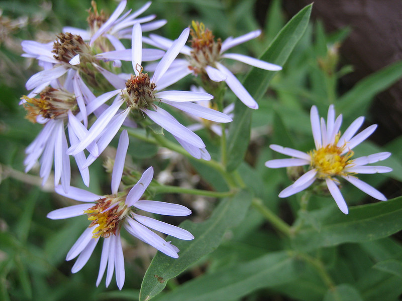 Western Aster, Aster occidentalis (Bryce NP Utah)