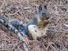 Sciurus griseus, Western Gray Squirrel, (Sequoia National Park California)