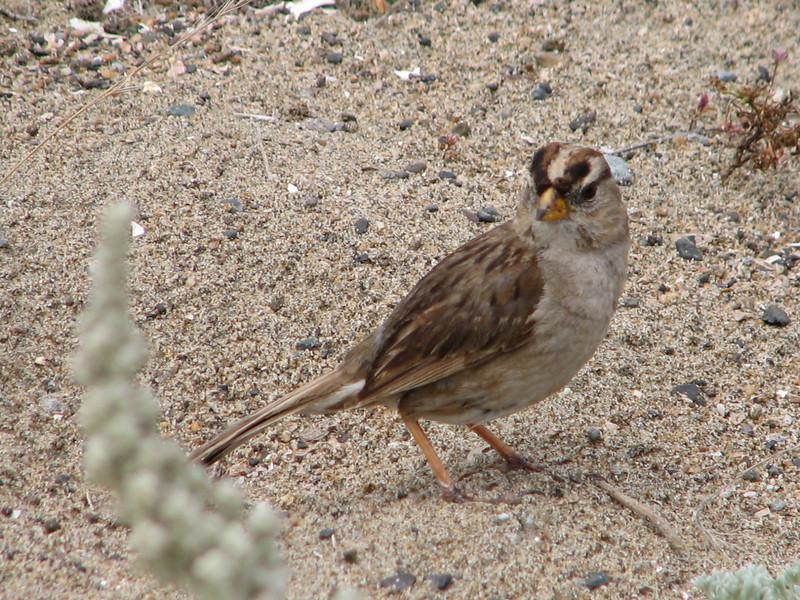 Grasshoper Sparrow, Ammodramus savannarum (San Francisco)